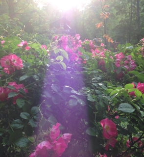 roses bushes with a beam of sunlight
